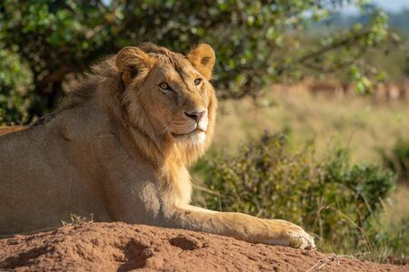 Close-up of male lion lying on mound
