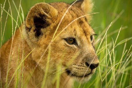 Close-up of lion cub sitting on grass