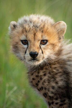 Close-up of cheetah cub standing watching camera