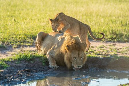 Cub stands on lion drinking from pool