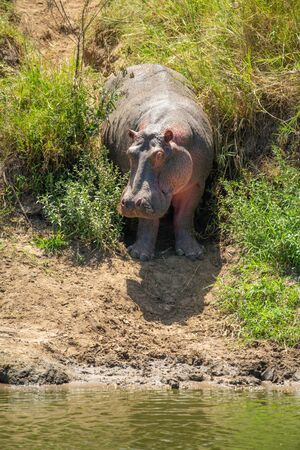 Hippo standing in bushes on muddy riverbank