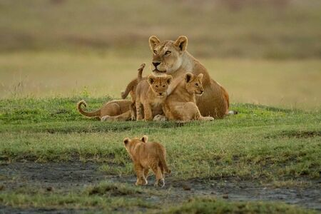 Cub walks towards others lying with lioness