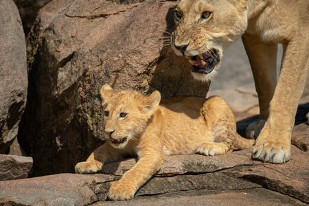 Cub lying on rock with snarling lioness