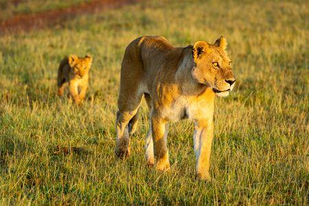 Lioness and cub cross savannah at dawn