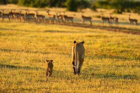 Lioness and cub walk towards impala herd