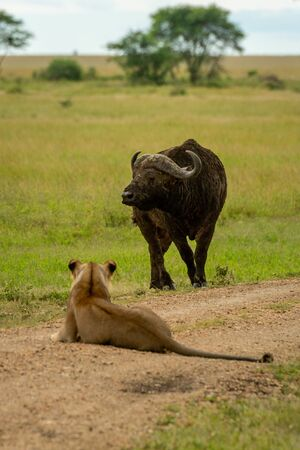 Lioness lies on track eyeing Cape buffalo Imagens