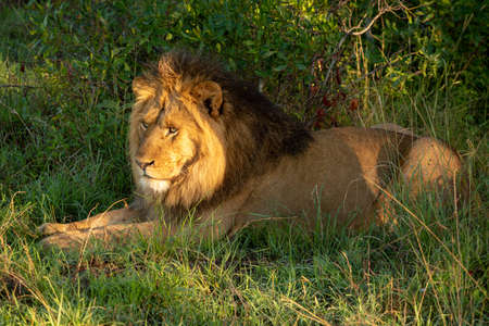 Male lion lies in golden hour light