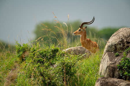 Male impala stands in profile behind rocks
