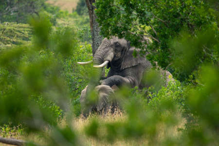 Male African elephant mounts female in trees 版權商用圖片