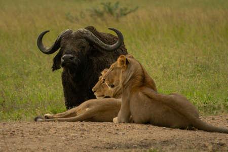 Lionesses lie on track near Cape buffalo