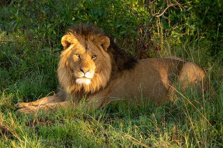 Male lion lies in golden dawn light 版權商用圖片