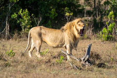 Male lion stands yawning by tree stump 版權商用圖片