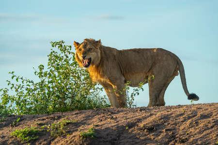 Male lion shows Flehmen response on bank 版權商用圖片