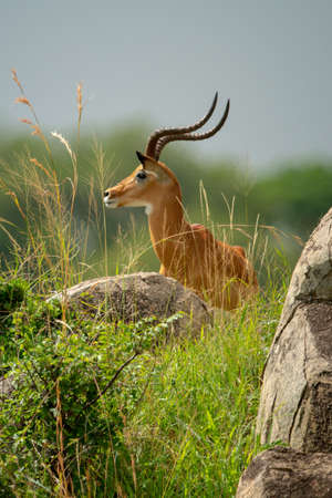 Male impala stands behind rocks in profile