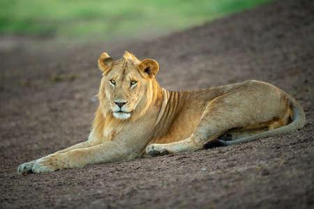 Male lion lies on slope eyeing camera 版權商用圖片