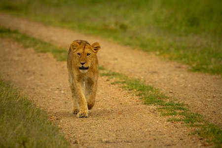 Lioness walks along gravel track on savannah