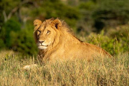 Male lion lies in grass in sunshine 版權商用圖片