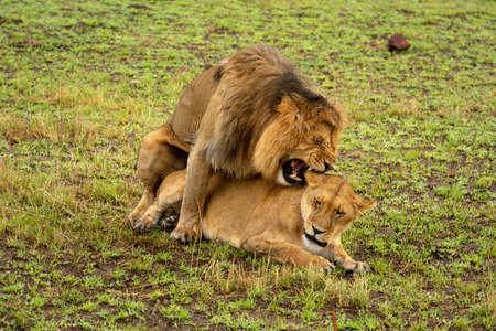 Male lion bites female neck while mating 版權商用圖片