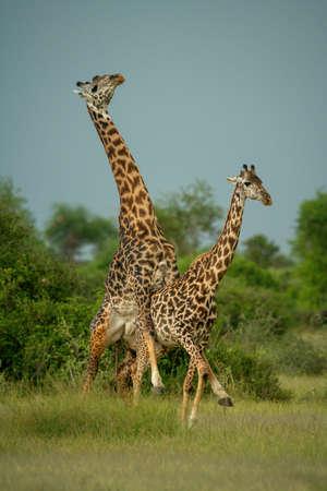 Male Masai giraffe mounts female on savannah