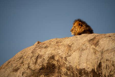 Male lion lies in sunshine on rock
