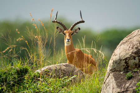 Male impala stands behind rocks eyeing camera