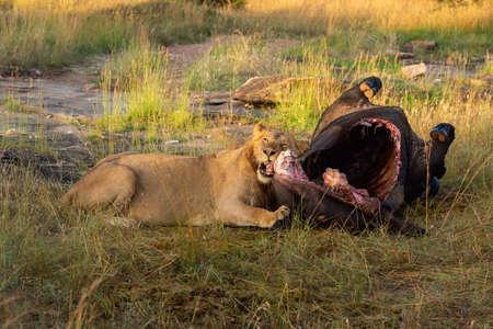 Male lion lies feeding on buffalo carcase