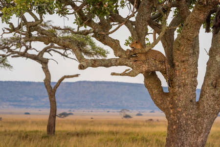 Male leopard lies in tree raising head