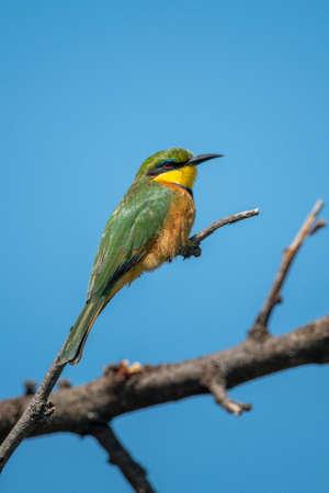 Little bee-eater on branch under blue sky 版權商用圖片