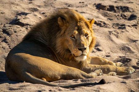 Male lion lies on sand watching camera 版權商用圖片