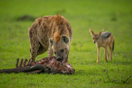 Spotted hyena gnaws carcase as jackal watches