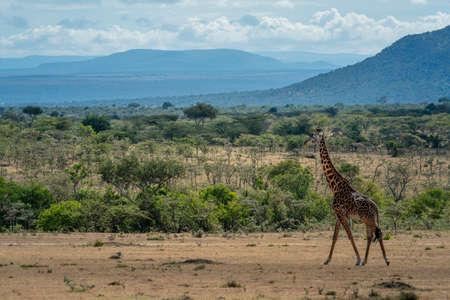 Masai giraffe walking through savannah in sunshine