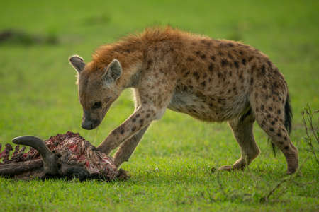 Spotted hyena paws carcase on short grass