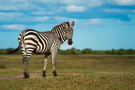 Plains zebra stands on bank looking back Foto de archivo