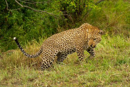 Leopard grimaces while walking up grassy bank