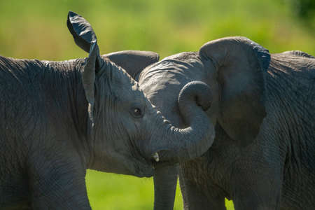 Close-up of two baby elephants play fighting