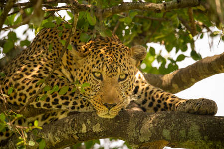 Close-up of leopard lying in leafy tree