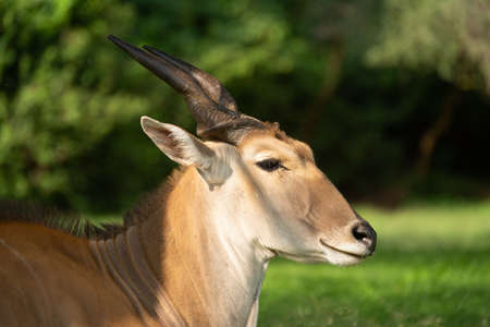 Close-up of common eland head in sunshine