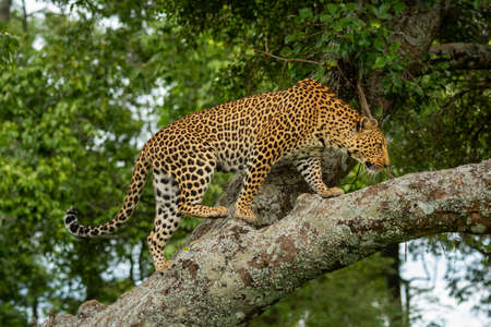 Leopard walks along lichen-covered branch in forest Imagens