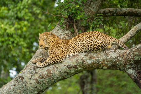 Leopard rests on lichen-covered tree looking down