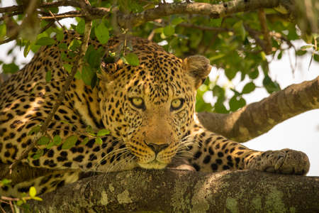 Close-up of leopard lying on tree branch Imagens