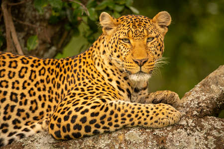 Close-up of leopard on branch eyeing camera