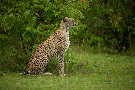Female cheetah sits by bush in profile Imagens