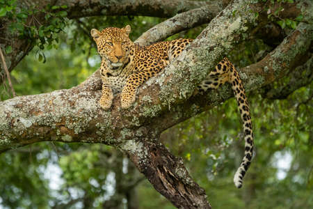 Leopard lies on lichen-covered branch in tree