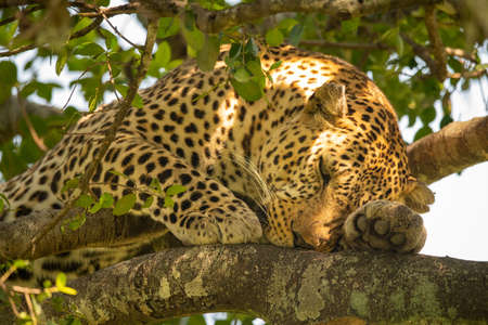 Close-up of leopard lying sleepily on branch