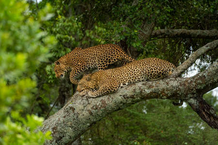 Leopard walks past another lying on branch