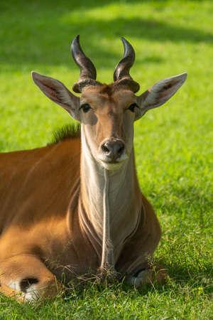 Close-up of common eland lying eyeing camera
