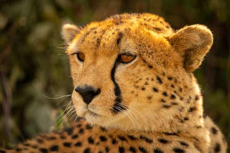 Close-up of backlit cheetah turning head left Imagens