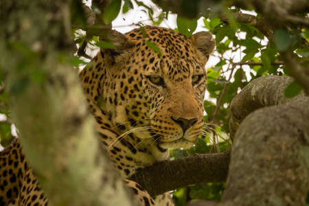 Close-up of leopard in tree between branches Imagens
