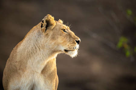 Close-up of lioness staring right with catchlight Imagens