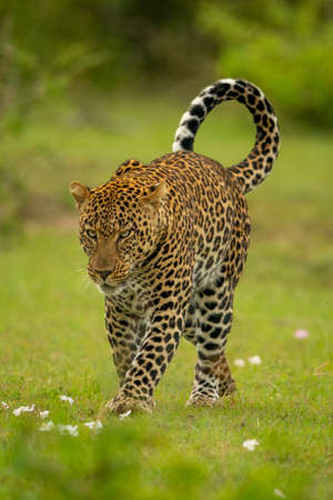 Leopard crosses short grass with head lowered Imagens